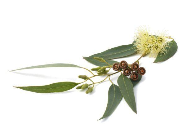 листики эвкалипта