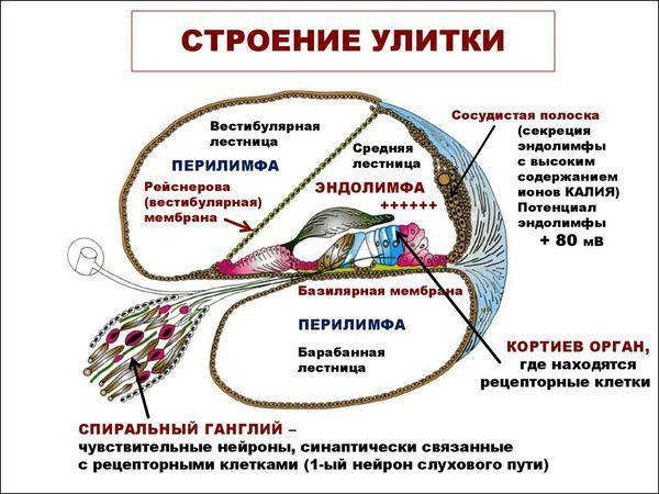 Строение улитки уха